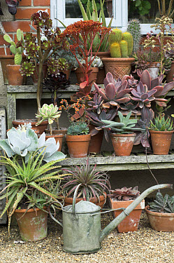 Collection of pots with succulents on tiered display, watering can, England, summer  -  Gary K Smith/ FLPA