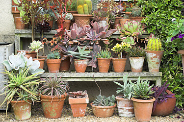 Collection of pots with succulents on tiered display, England, summer  -  Gary K Smith/ FLPA