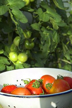 Tomato (Lycopersicon esculentum) organic fruit in enamel colander, Norfolk, England  -  Gary K Smith/ FLPA