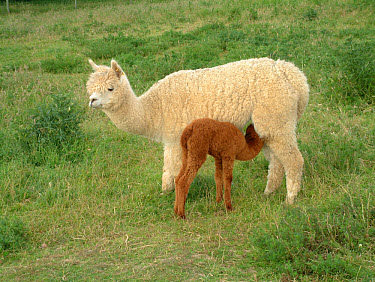 Alpaca (Lama pacos) huacaya breed, adult with week old baby suckling  -  Keith Rushforth/ FLPA