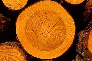 Pine (Pinus sp) close-up of annual growth rings of cross-section of log, Sweden  -  Bjorn Ullhagen/ FLPA