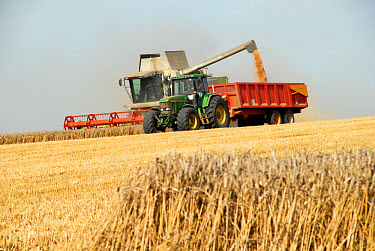 Common Wheat (Triticum aestivum) crop, Claas combine emptying into trailer pulled by tractor, Chilterns, Hertfordshire, England  -  Nick Spurling/ FLPA