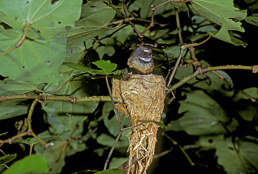 Fantail, Rhipidura fuliginosa, from New Zealand  -  David Hosking/ FLPA