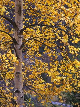European White Birch (Betula pendula) mid section of tree with Autumn foliage  -  Bob Gibbons/ FLPA