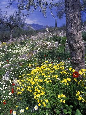 Spring flowers on olive terraces, senecio vernalis, asphodelus aestivus, anthemis chia, anemone pavonina, Mani Peninsular, S.Greece  -  Peter Wilson/ FLPA