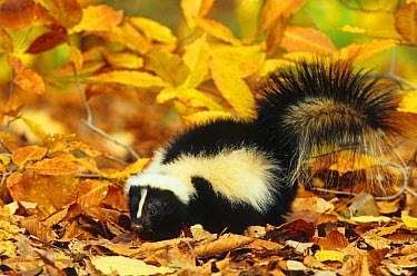 Striped Skunk (Mephitis mephitis) adult on fallen leaves, Ohio  -  S & D & K Maslowski/ FLPA