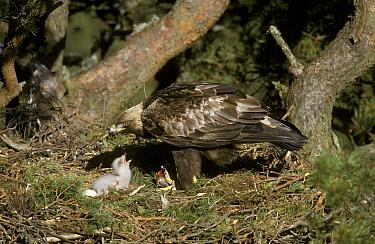 Golden Eagle (Aquila chrysaetos) female feeding chick, nest in pine, Scotland  -  Michael Callan/ FLPA
