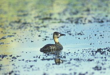 White-backed Duck (Thalassornis leuconotus) On water  -  David Hosking/ FLPA