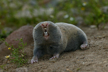 Lesser Mole Rat (Spalax leucodon) adult, Bulgaria  -  Roger Tidman/ FLPA