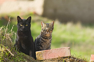 Domestic Cat, two feral cats sitting, Spain  -  Roger Tidman/ FLPA