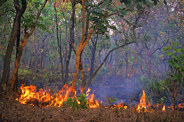 Fire in miombo woodland, Kasanka National Park, Zambia  -  Chris & Tilde Stuart/ FLPA