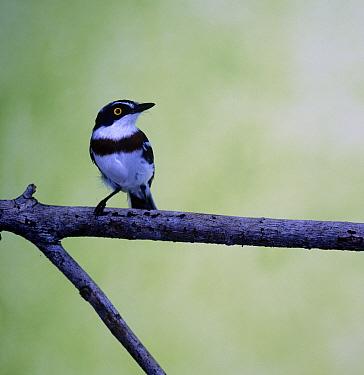 Puff back flycatcher, Batis capensis  -  David Hosking/ FLPA
