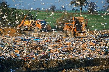 Gulls at rubbish dump, mass around dump, lorries emptying skips, waste management, Sussex, England  -  Roger Wilmshurst/ FLPA