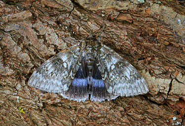 Clifden Nonpareil (Catocala fraxini) adult, resting on bark, Norfolk, England, september  -  Neil Bowman/ FLPA