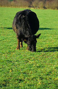 Domestic cattle, Aberdeen Angus, pregnant cow grazing on pasture, Staffordshire, England, december  -  Ruth Downing/ FLPA