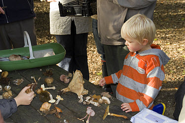 Young boy looking at a collection of fungi  -  David Hosking/ FLPA