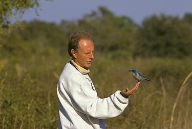 Scrub Jay Aphelocoma coerulescens, on the hand of Martin Withers  -  David Hosking/ FLPA
