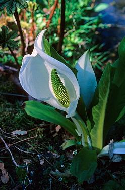 Asian Skunk Cabbage (Lysichiton camchatcense) flowering  -  David Hosking/ FLPA