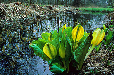 Yellow Skunk Cabbage (Lysichitum americanum) in flower at edge of water  -  Tony Wharton/ FLPA