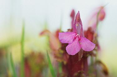 Common Lousewort (Pedicularis sylvatica) close-up of flower, Powys, Wales  -  Richard Becker/ FLPA