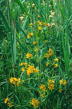 Yellow Loosestrife (Lysimachia vulgaris) in flower amongst long grass  -  Ian Rose/ FLPA