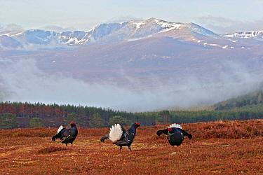 Black Grouse (Tetrao tetrix) three adult males, displaying at lek site, Scotland  -  Michael Callan/ FLPA