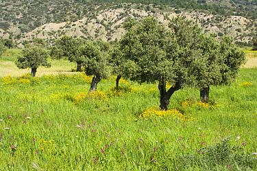 Olive (Olea europaea) grove, flowering Corn Marigold (Chrysanthemum segetum) and Gladioli (Gladiolus triphyllus and italicus), Tirman, Cyprus  -  Krystyna Szulecka/ FLPA