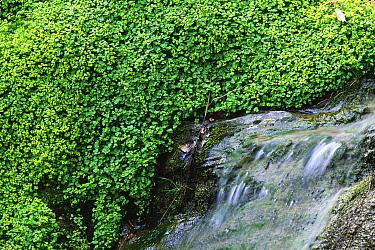 Opposite-leaved Golden Saxifrage (Chrysosplenium oppositifolium) flowering beside stream, Powys, Wales  -  Richard Becker/ FLPA