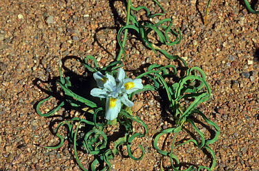 Moraea macronyx, restricted to interior mountainous areas, flower lasts only one day, Kamieskroon, South Africa  -  Peggy Heard/ FLPA