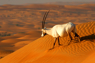 Arabian Oryx (Oryx leucoryx) adult, walking down sand dune, Dubai Desert Conservation Reserve, Al Maha, Dubai  -  Philip Perry/ FLPA