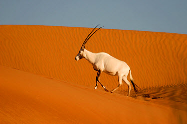 Arabian Oryx (Oryx leucoryx) adult, walking up sand dune at sunrise, Dubai Desert Conservation Reserve, Al Maha, Dubai  -  Philip Perry/ FLPA