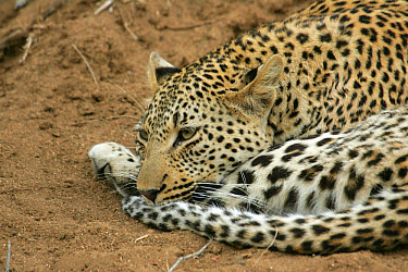 Leopard (Panthera pardus) adult female, resting on termite mound, Sabi Sand Game Reserve, South Africa  -  Philip Perry/ FLPA