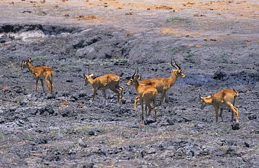 Puku (Kobus vardonii) herd, at dry waterhole, Chobe National Park, Botswana  -  David Hosking/ FLPA