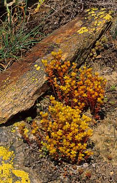 Dark Stonecrop (Sedum atratum) growing between rocks, Gran Paradiso National Park, Italy  -  Chris Mattison/ FLPA