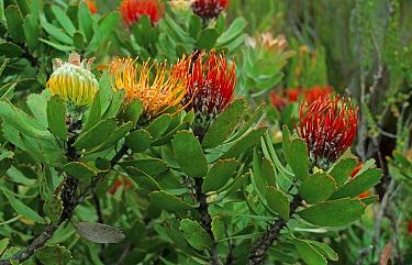 Pincushion (Leucospermum sp) flowering, South Cape, South Africa  -  Wendy Dennis/ FLPA