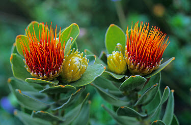 Pincushion (Leucospermum sp) close-up of flowers, South Africa  -  Martin Withers/ FLPA