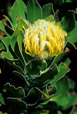 Yellow Pincushion Protea (Leucospermum conocarpodendron) flowering, South Africa  -  Martin Withers/ FLPA