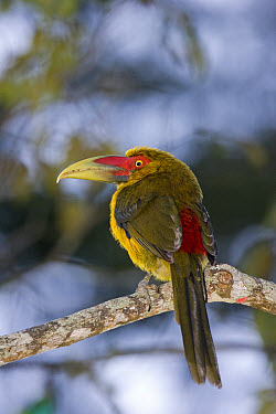 Saffron Toucanet (Baillonius bailloni) adult, perched on branch, Brazil  -  Roger Tidman/ FLPA