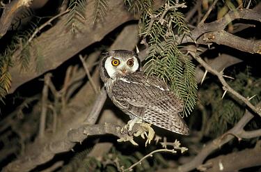 White-faced Scops Owl (Otus leucotis) Sitting on branch  -  David Hosking/ FLPA