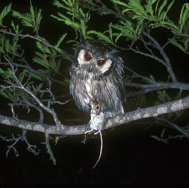 White-faced Scops Owl (Otus leucotis) With mouse, Rhodesia  -  David Hosking/ FLPA