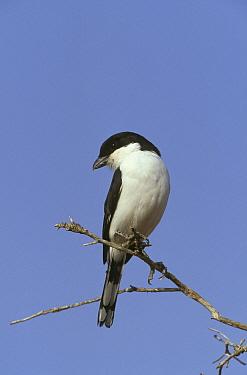 Teita Fiscal (Lanius dorsalis), Samburu, Kenya  -  David Hosking/ FLPA