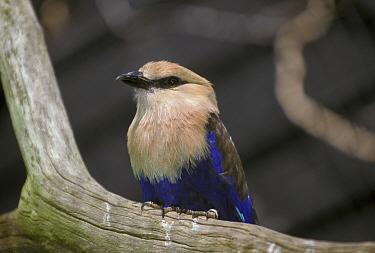Blue-bellied Roller (Coracias cyanogaster)  -  David Hosking/ FLPA