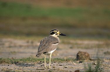 Great Sand Plover, Esacus magnirostris  -  David Hosking/ FLPA