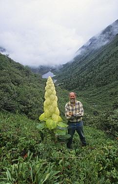 Sikkim Rhubarb (Rheum nobile) in flower, man showing scale, above Gira tse (lake), Poinya region,Tibet  -  Keith Rushforth/ FLPA