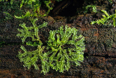 Leafy Liverwort (Lophocolea heterophylla) growing on damp bark, Michigan, U.S.A., august  -  Larry West/ FLPA