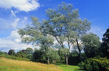 White Poplar (Populus alba) mature trees, Cumbria, England  -  Primrose Peacock/ FLPA
