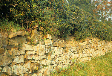 Hedgerow, Holly (Ilex sp) hedge on top of drystone wall, excellent stock barrier, Shropshire, England  -  R.P. Lawrence/ FLPA