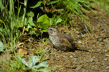 Fox Sparrow (Passerella iliaca) Washington State, USA  -  David Hosking/ FLPA