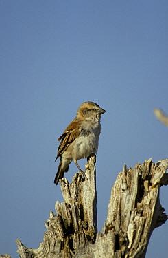 Cape Sparrow (Passer melanurus) Female, South Afirca  -  David Hosking/ FLPA