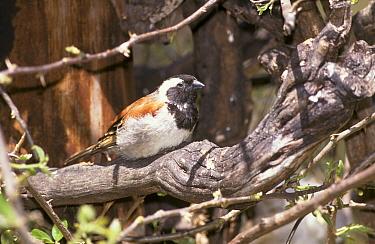 Cape Sparrow (Passer melanurus) Male, Cape Town, South Africa  -  David Hosking/ FLPA